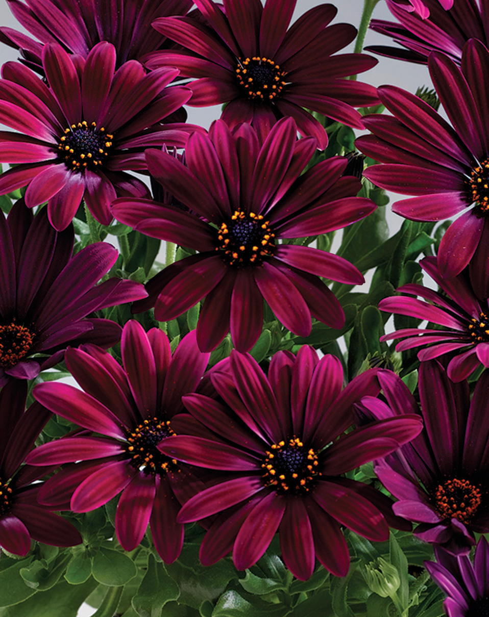 u0026 39 sunny u2122 cambria u0026 39  - african daisy
