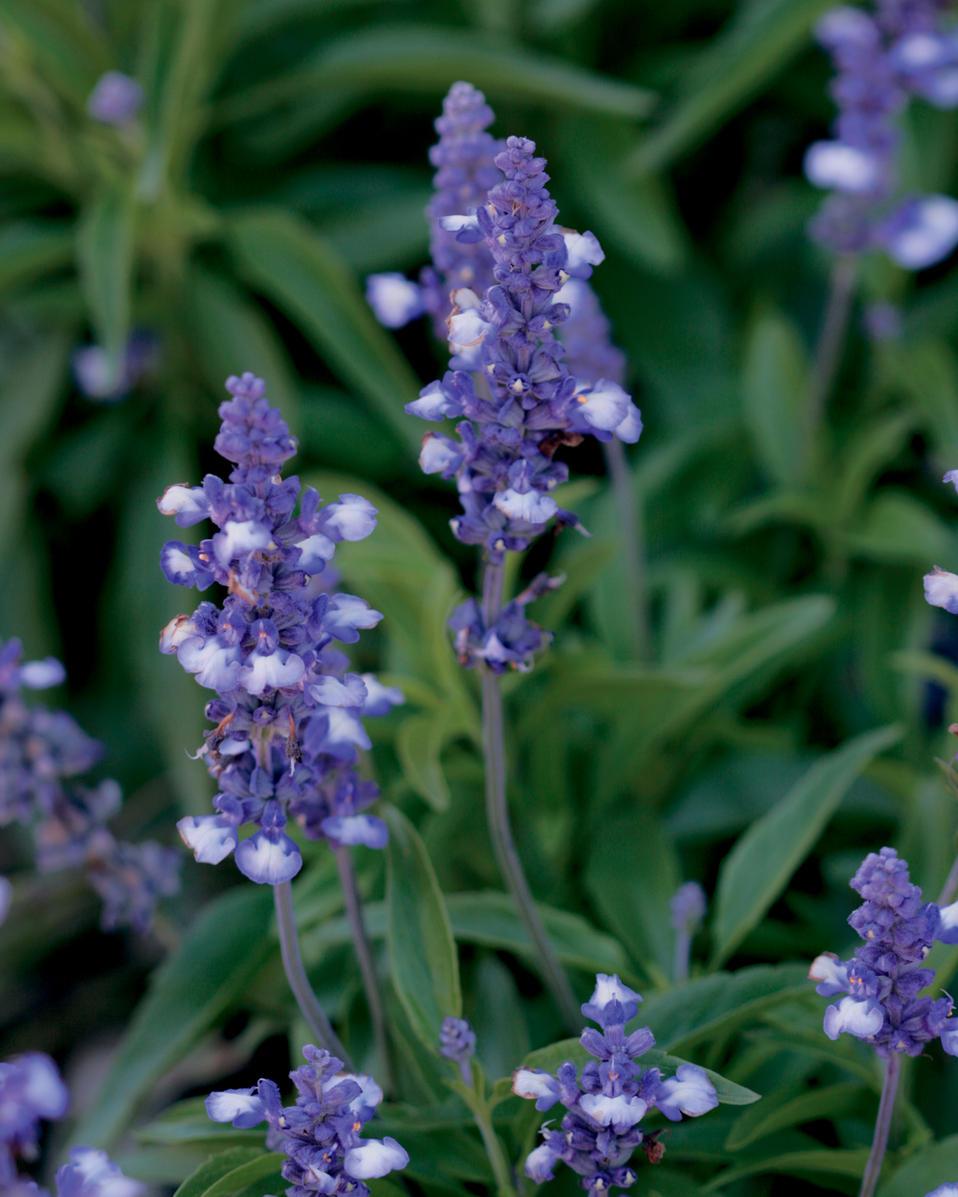 Blue Frost - Blue Sage - Salvia farinacea | Proven Winners