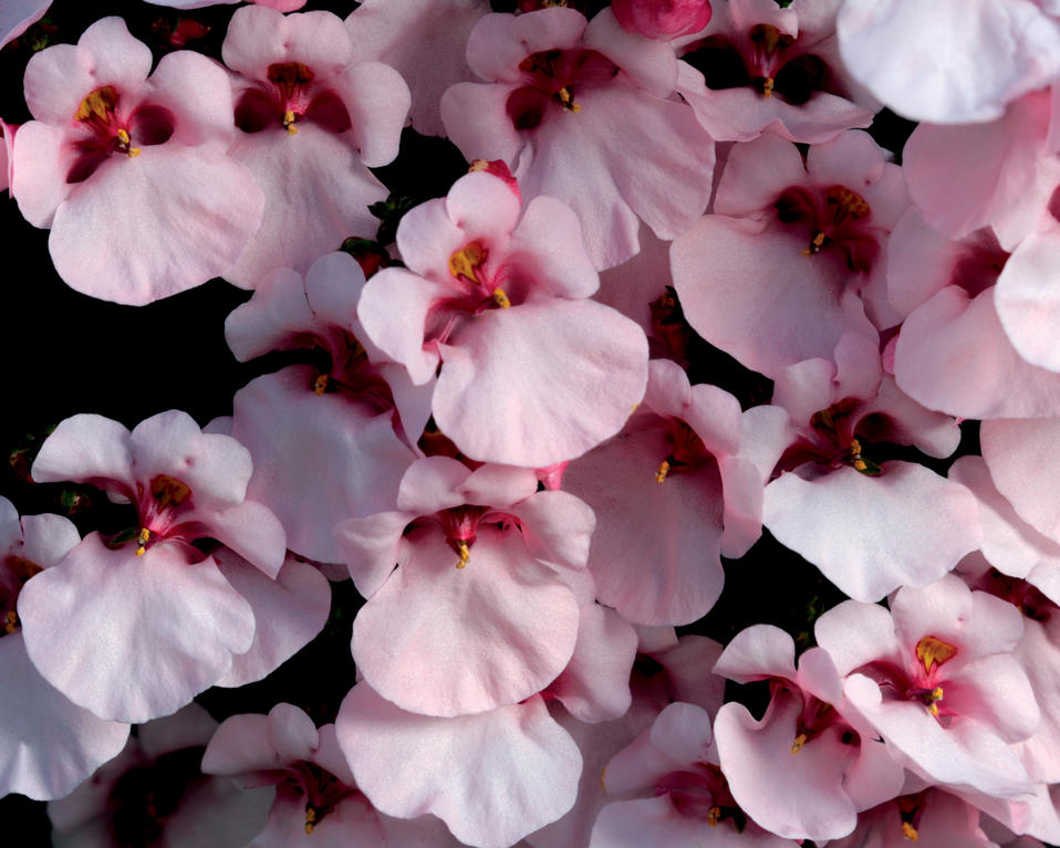 diascia flirtation pink 2018: proven winners : all proven winners® and proven selections® plants are shipped with high quality, large pw® diascia flirtation® pink imp.