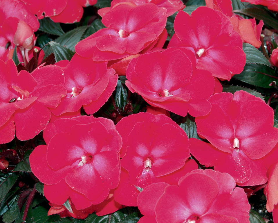 Infinity cherry red new guinea impatiens impatiens for New guinea impatiens