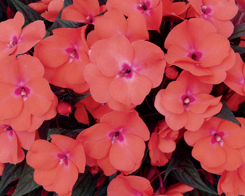 Infinity salmon new guinea impatiens impatiens for New guinea impatiens