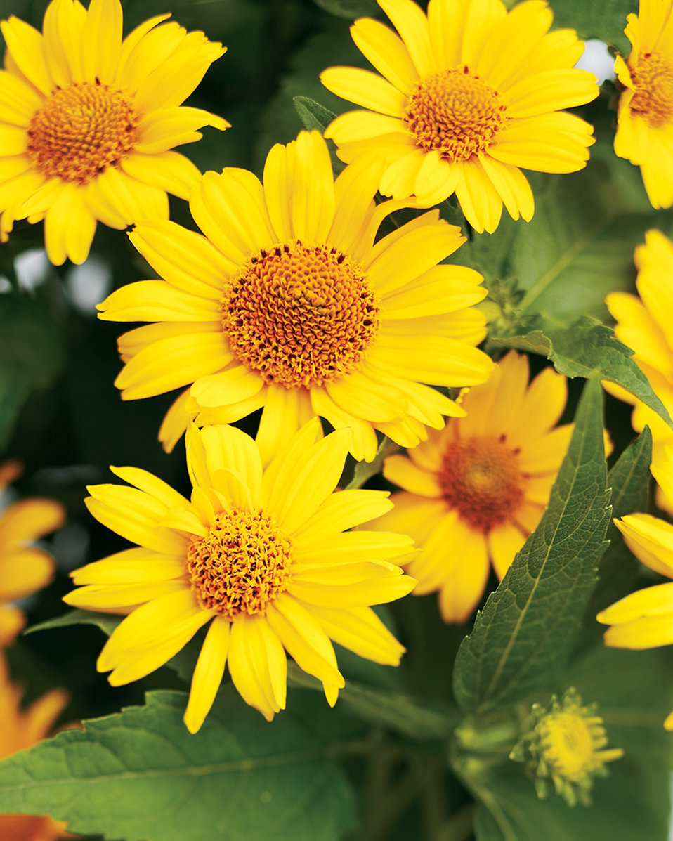 39 tuscan sun 39 perennial sunflower heliopsis proven for Garden trees with yellow flowers