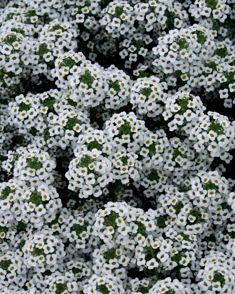 Snow Princess Sweet Alyssum Lobularia Hybrid Proven Winners