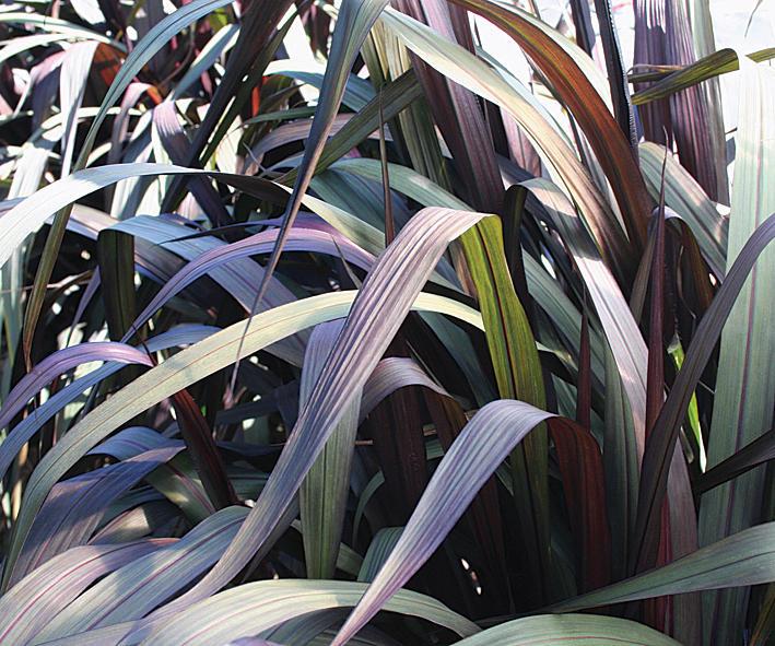 graceful grasses u00ae vertigo u00ae - purple fountain grass