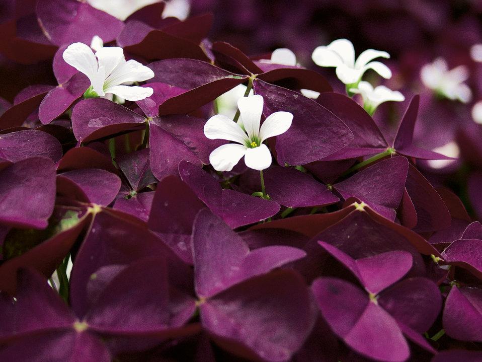 Charmed wine shamrock oxalis hybrid proven winners - Shamrock houseplant ...