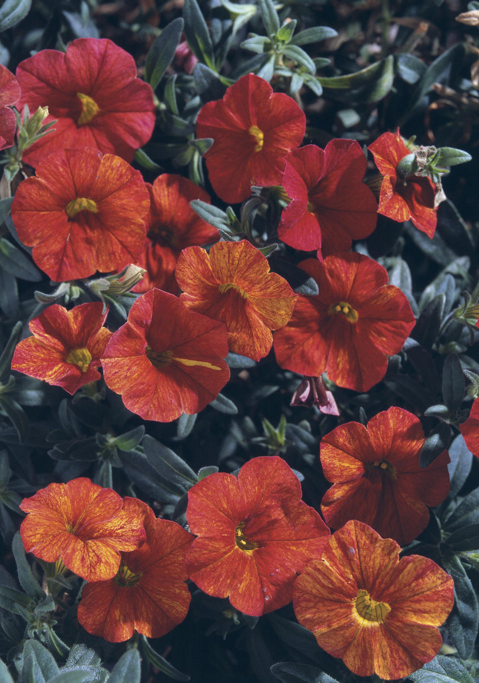 million bells crackling fire calibrachoa hybrid proven winners. Black Bedroom Furniture Sets. Home Design Ideas