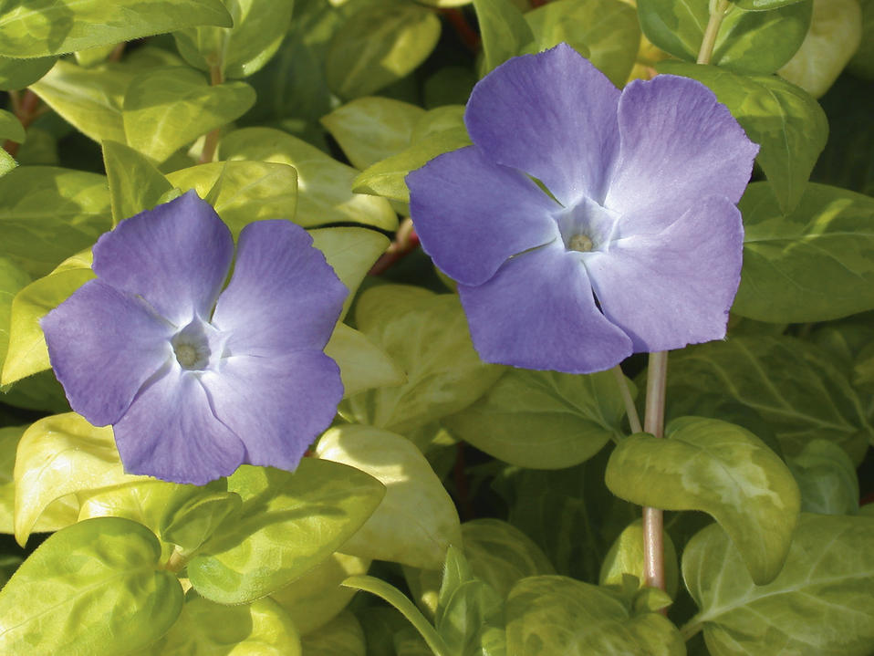 Vinca reticulata vinca major proven winners for Vinca major