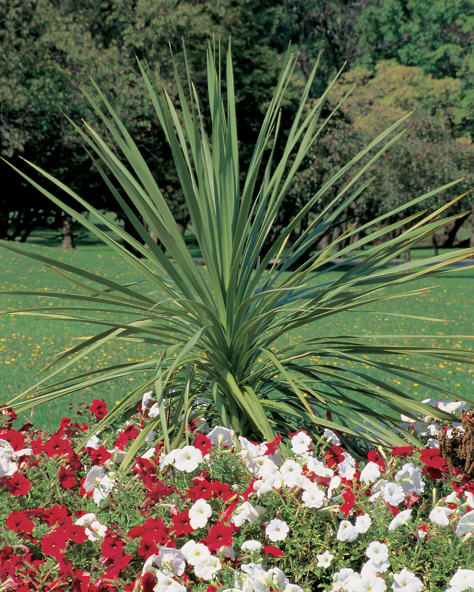 Spikes dracaena indivisa proven winners for Plant with tall spikes of yellow flowers