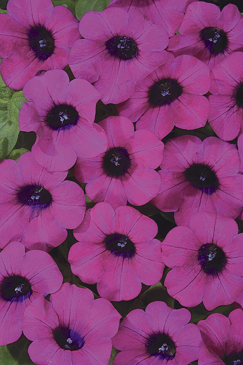 Blanket® Purple - Petunia hybrid | Proven Winners