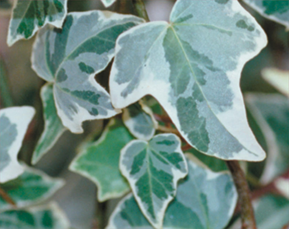 Variegated Shade Plants