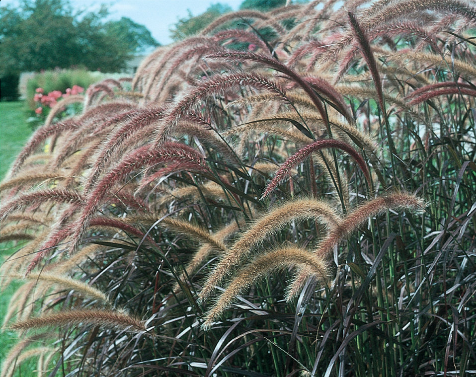 Graceful grasses purple fountain grass pennisetum for Blue fountain grass