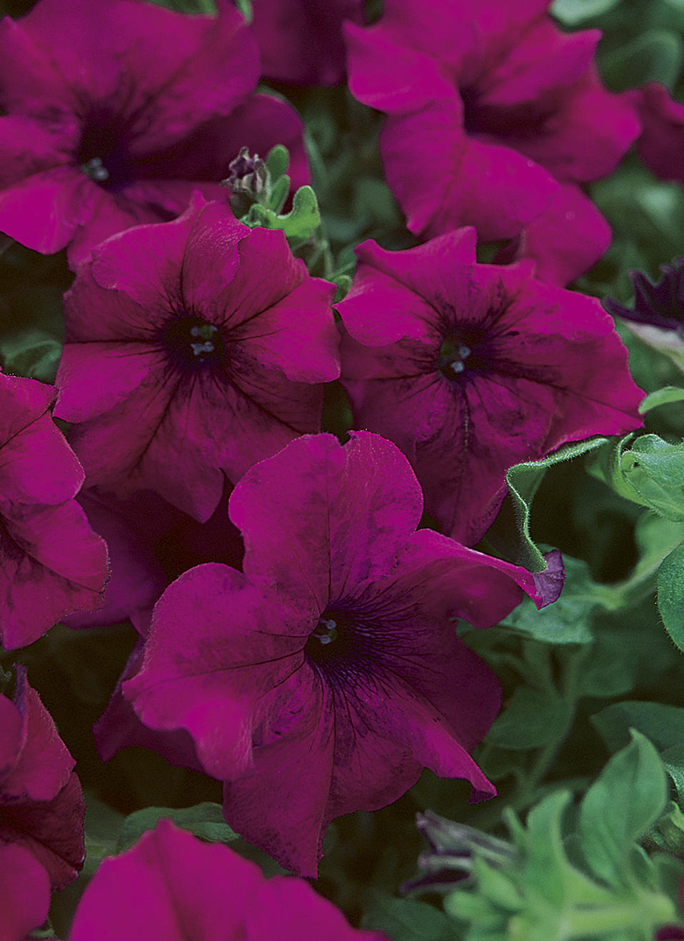 Surfinia® Magenta - Petunia hybrid | Proven Winners