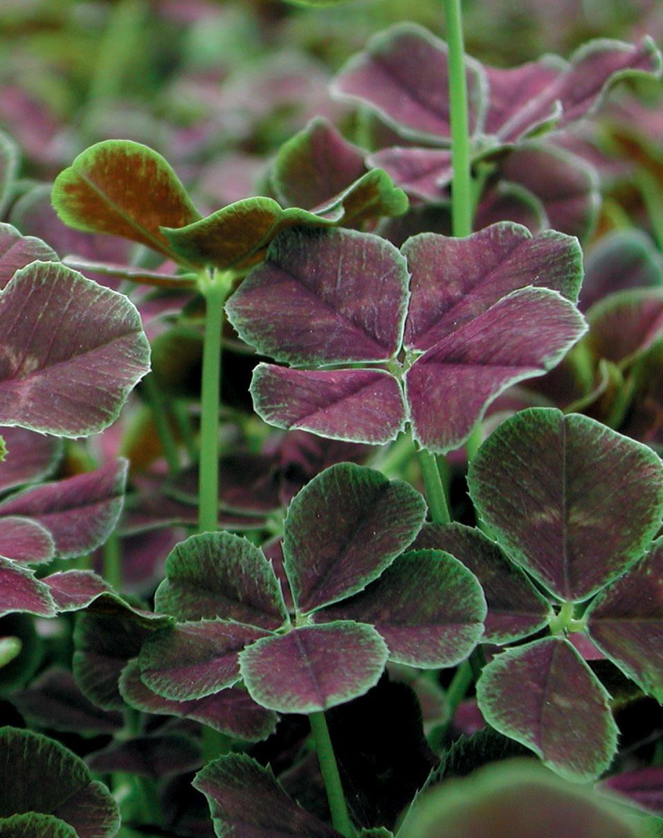 Dark dancer white clover trifolium repens for Garden plants
