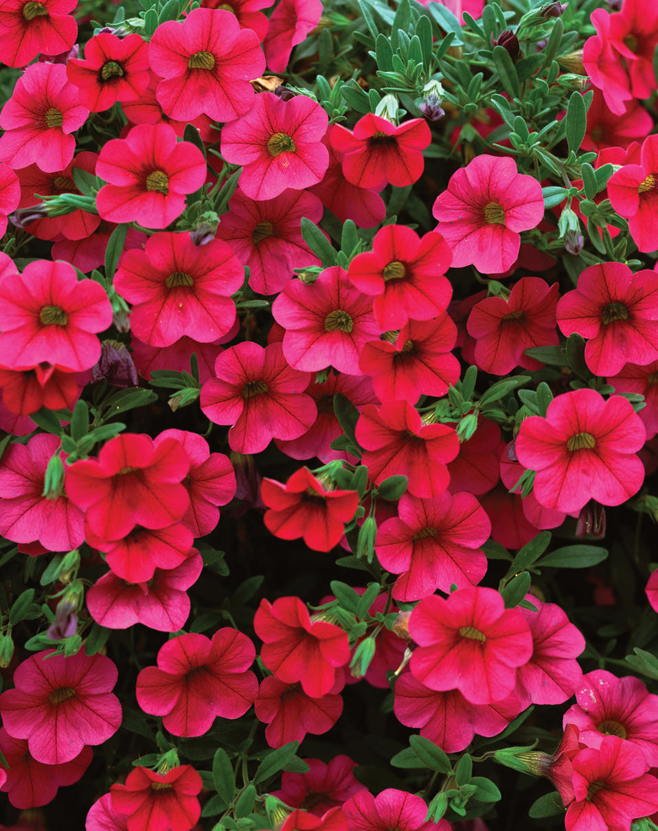 million bells trailing magenta calibrachoa hybrid proven winners. Black Bedroom Furniture Sets. Home Design Ideas