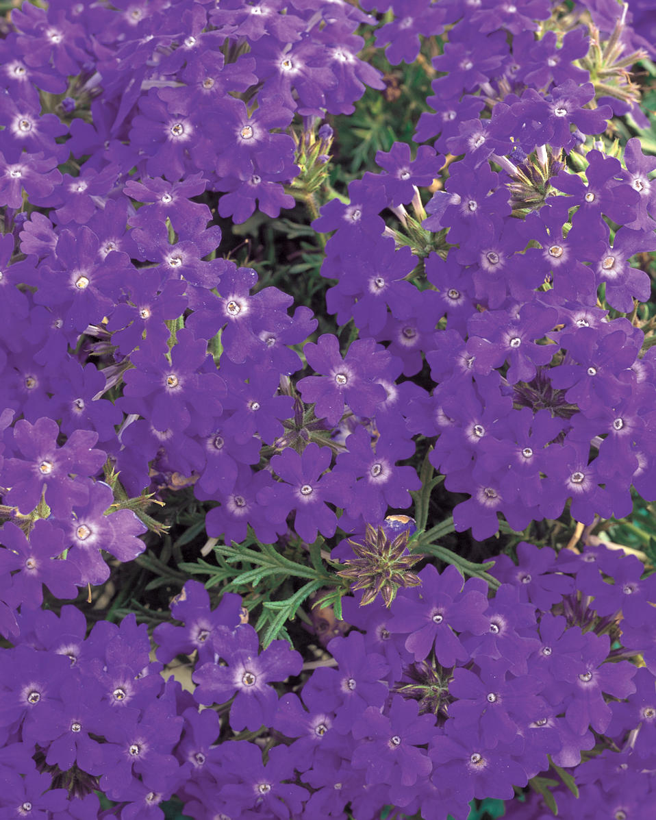 Tapien® Blue Violet - Verbena hybrid | Proven Winners