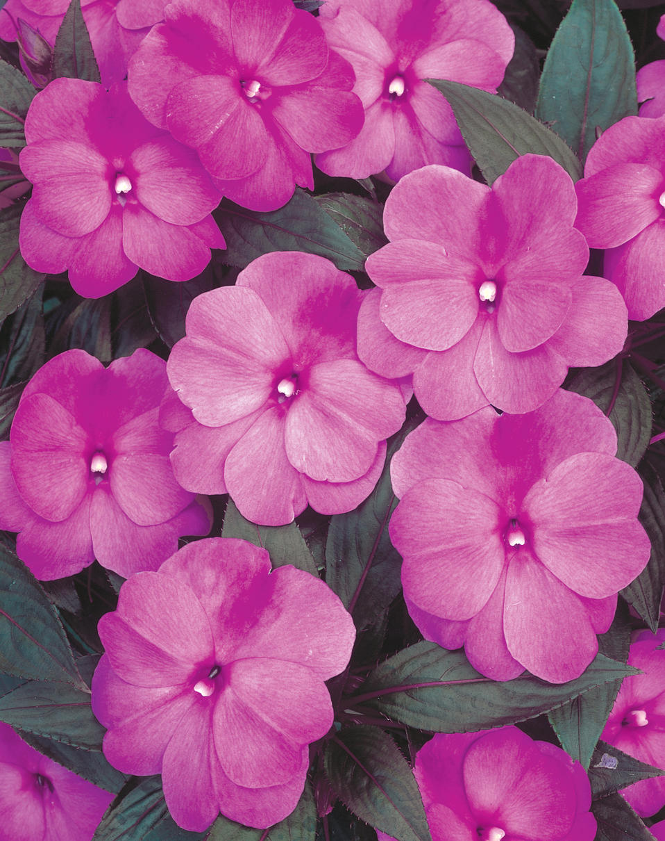 301 moved permanently for New guinea impatiens