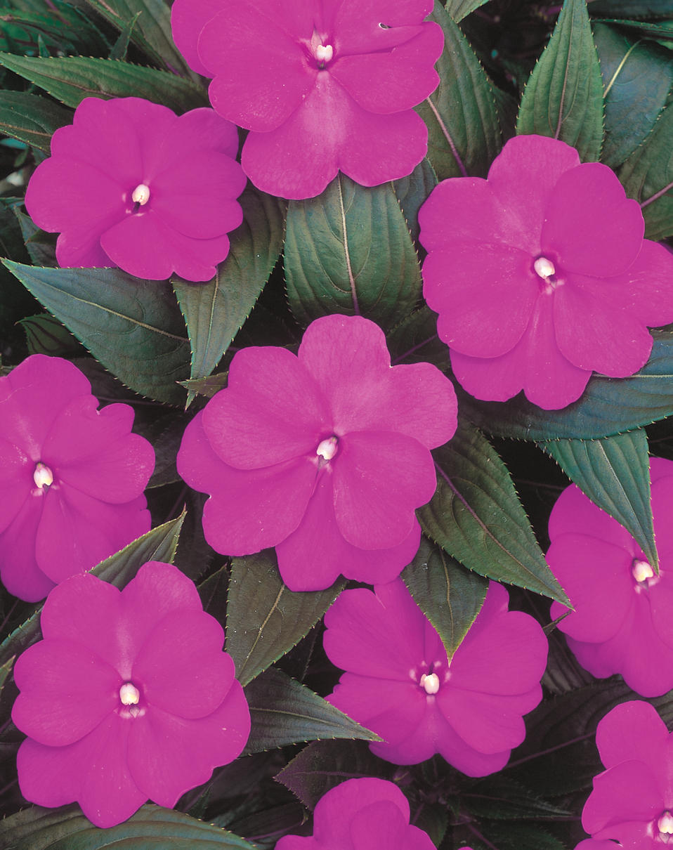 Infinity light purple new guinea impatiens impatiens New guinea impatiens