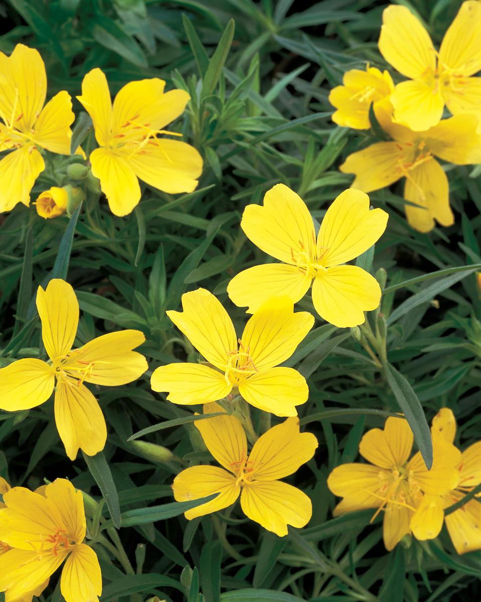 Best Ground Cover Plants For Sun: Lemon Drop® - Primrose - Oenothera