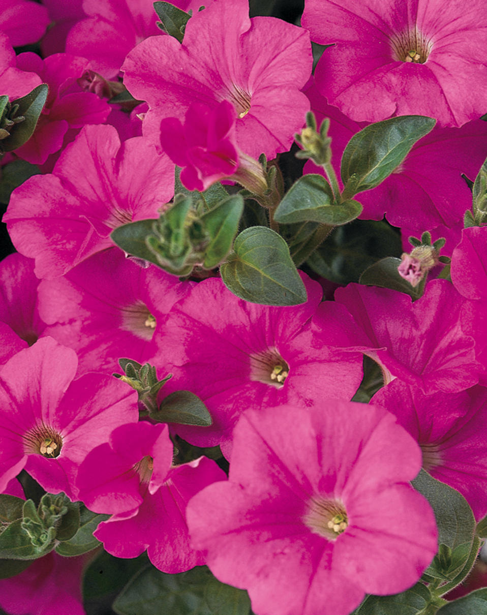 Supertunia® Trailing (Formerly Mini) Bright Pink - Petunia ...
