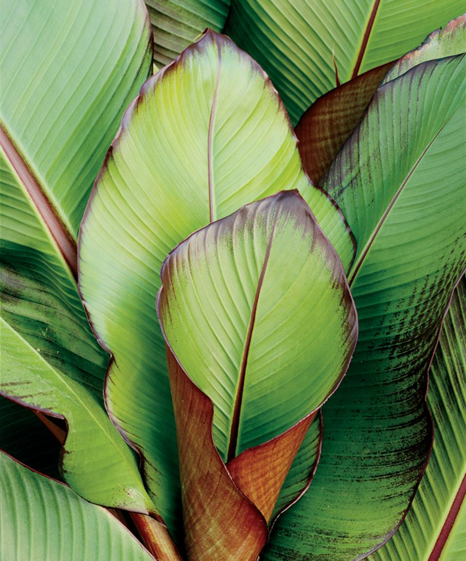 Red banana ensete maurelii proven winners for Plantes exterieur