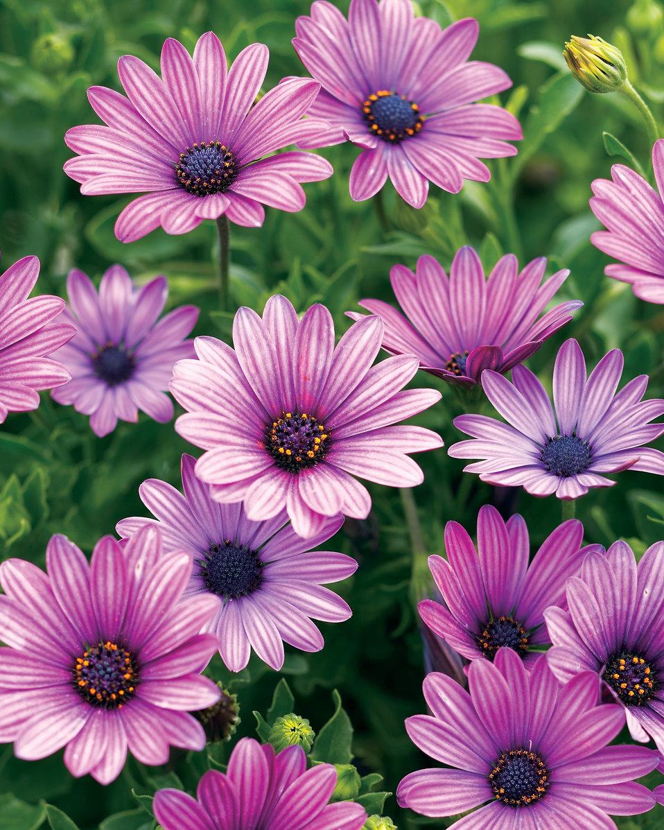 Soprano Purple Osteospermum Hybrid Proven Winners