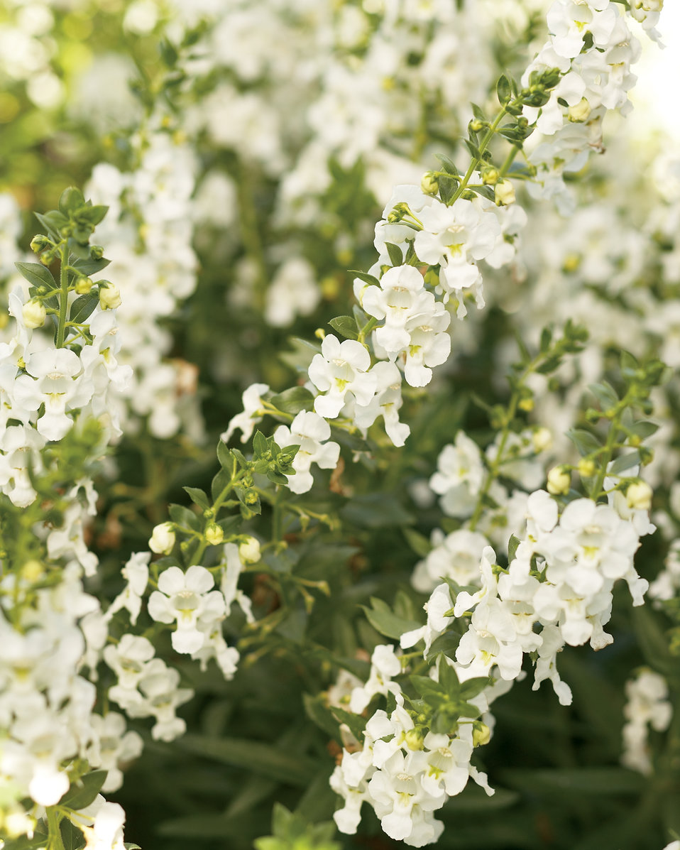 Angelface White Summer Snapdragon Angelonia Angustifolia Hybrid