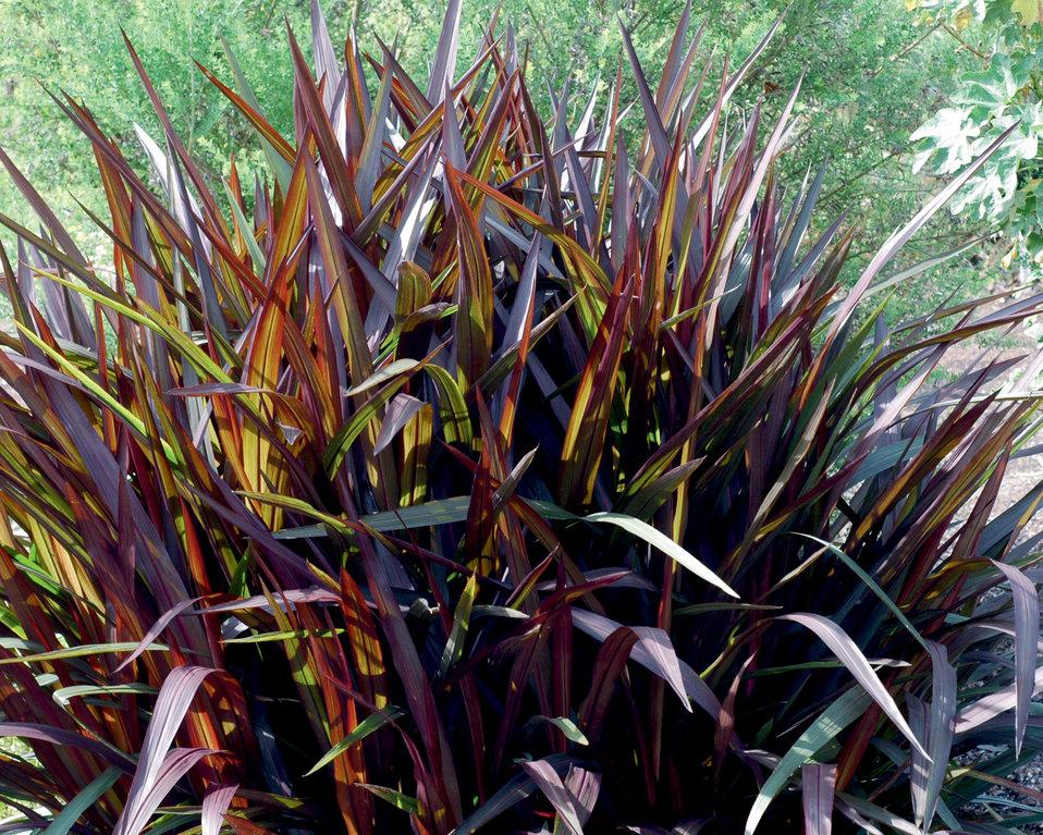 39 princess 39 purple fountain grass pennisetum purpureum for Purple grass