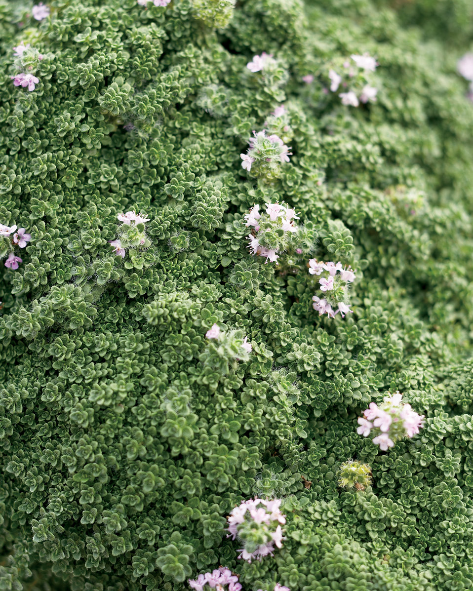 Garden Bush: Elfin - Creeping Thyme - Thymus Serpyllum