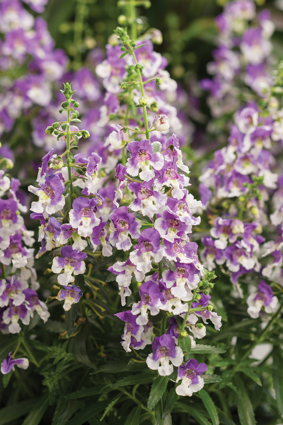 Angelface Wedgwood Blue Summer Snapdragon Angelonia Hybrid