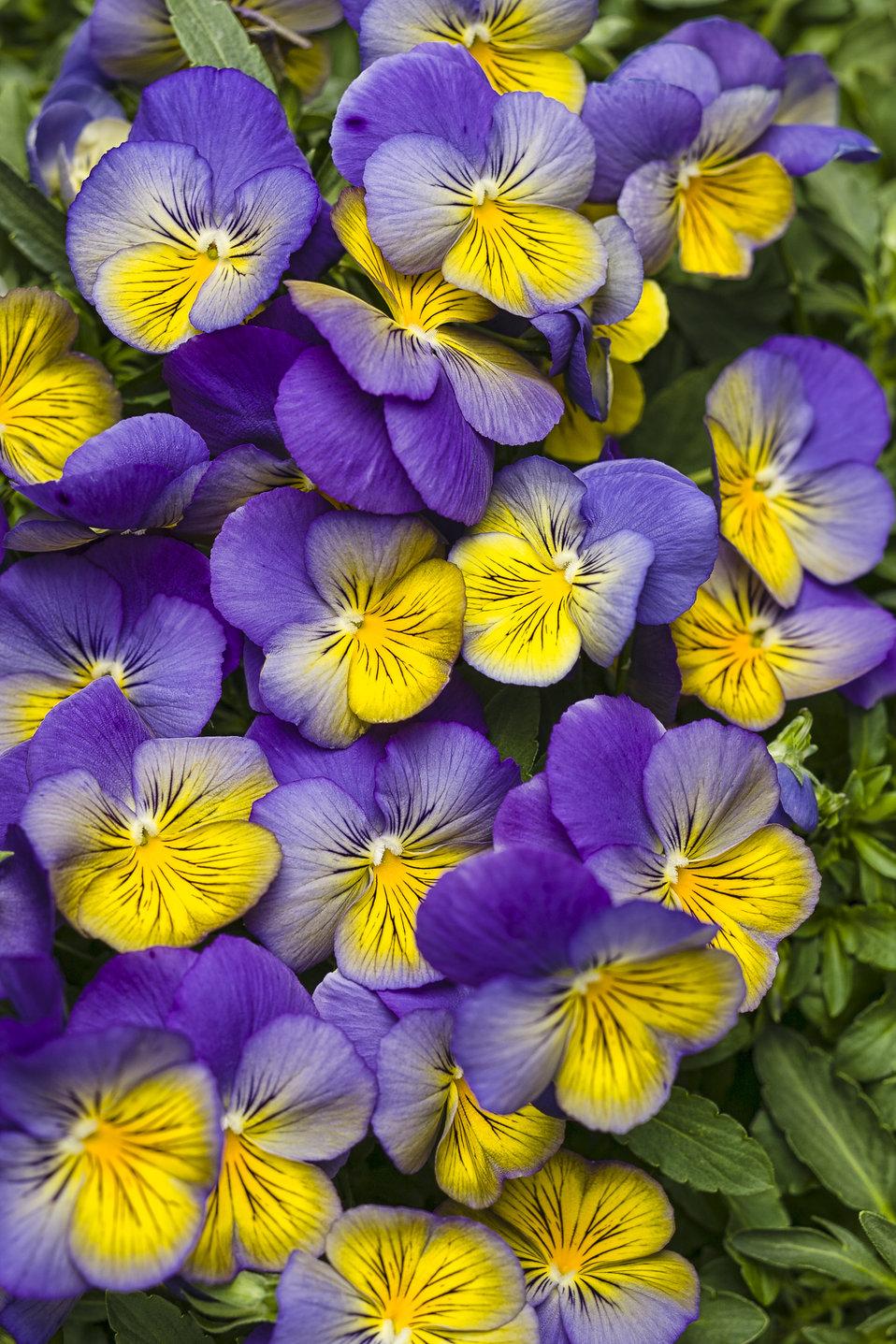 Garden Bush: Anytime® Iris - Pansiola - Viola X Wittrockiana