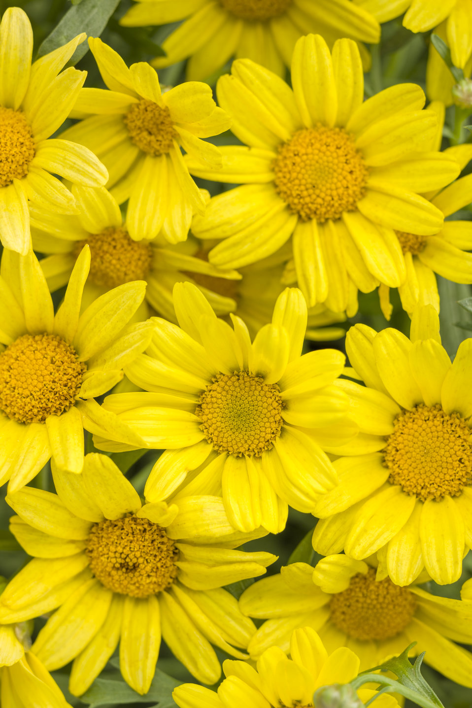 Golden Butterfly Marguerite Daisy Argyranthemum Frutescens