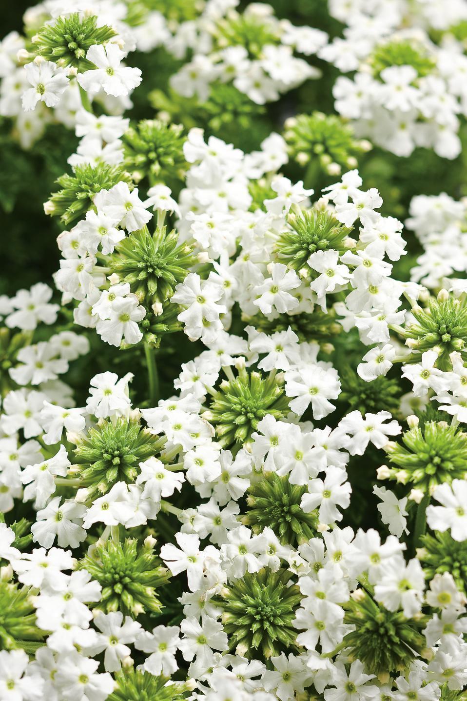 Babylon® White - Verbena hybrid | Proven Winners