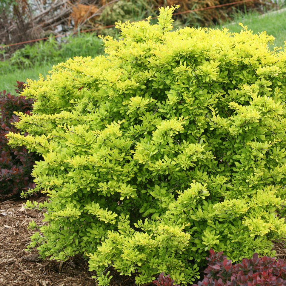 Sunjoy citrus barberry berberis thunbergii proven for Garden shrubs