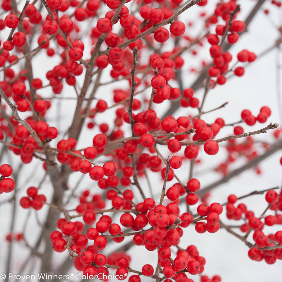 Berry Poppins 174 Winterberry Ilex Verticillata Proven