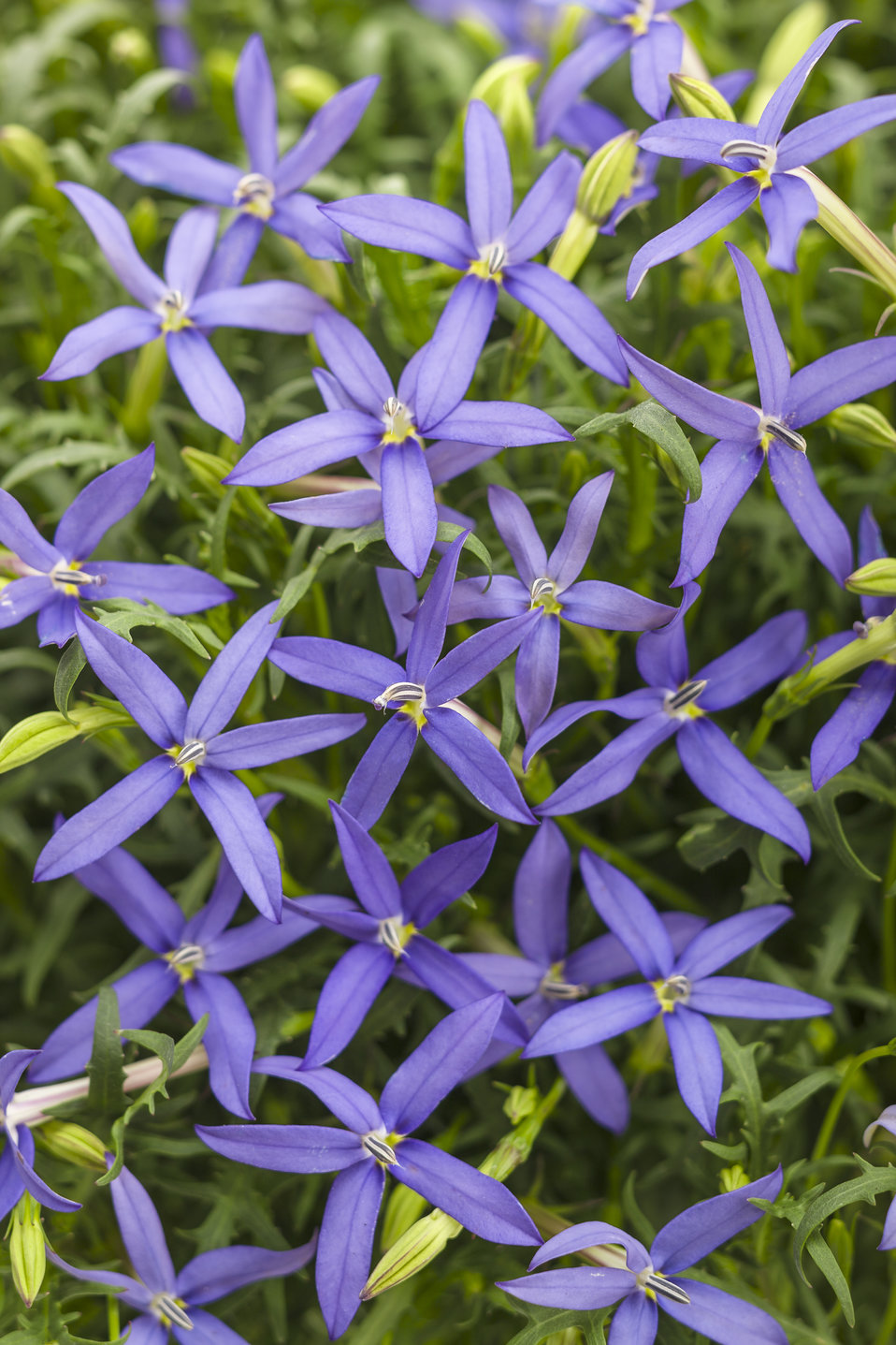 Beths Blue Star Flower Isotoma Axillaris Proven Winners