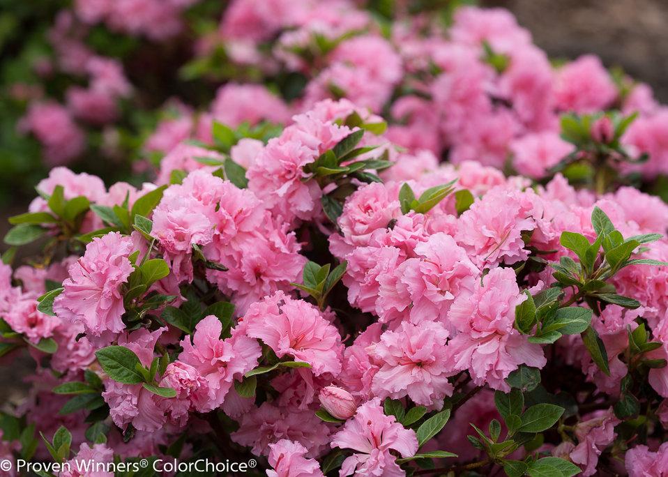 Bloom a thon pink double reblooming azalea for The azalea