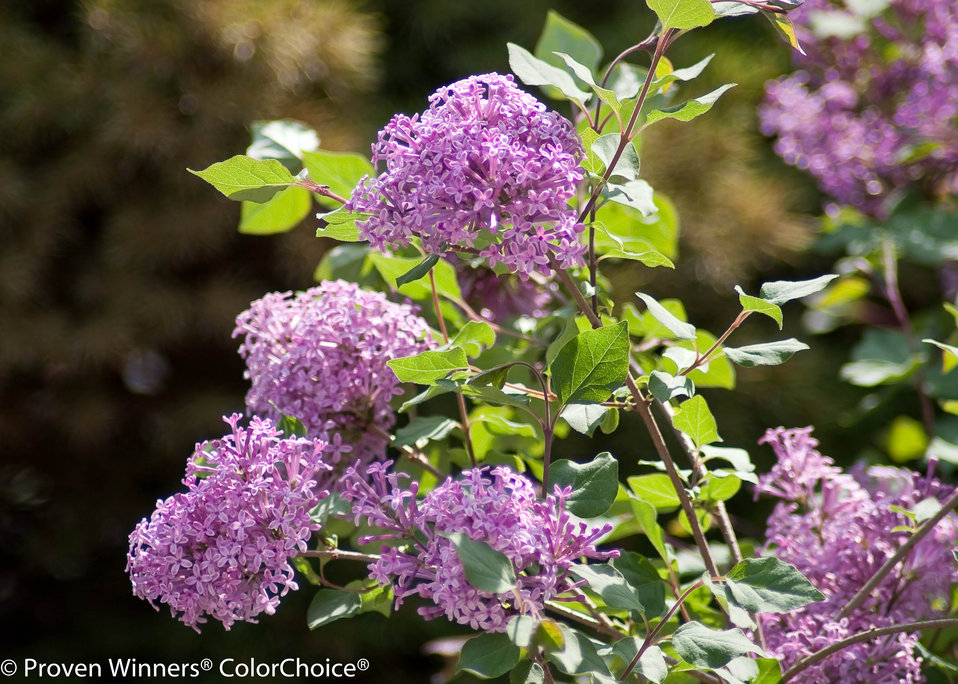 bloomerang purple reblooming lilac syringa x proven