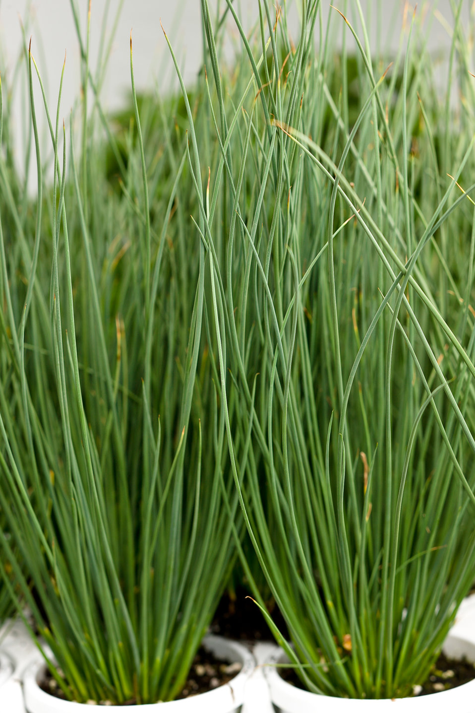 Graceful grasses blue mohawk soft rush juncus for Tall grass plants