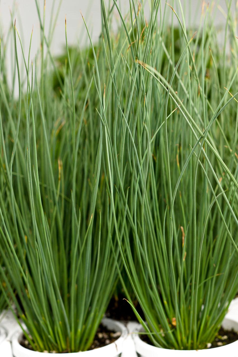 Graceful grasses blue mohawk soft rush juncus for Blue decorative grass