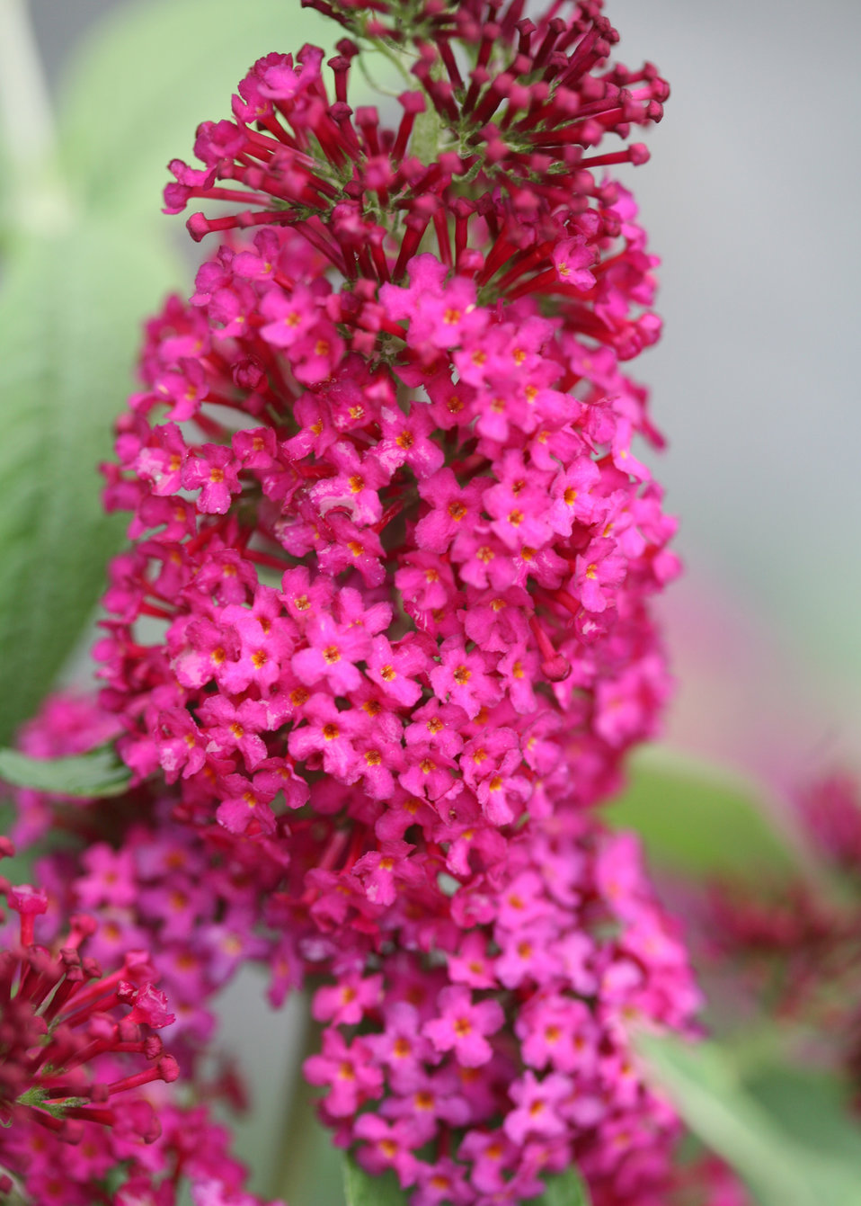Miss Molly Butterfly Bush Buddleia X Proven Winners