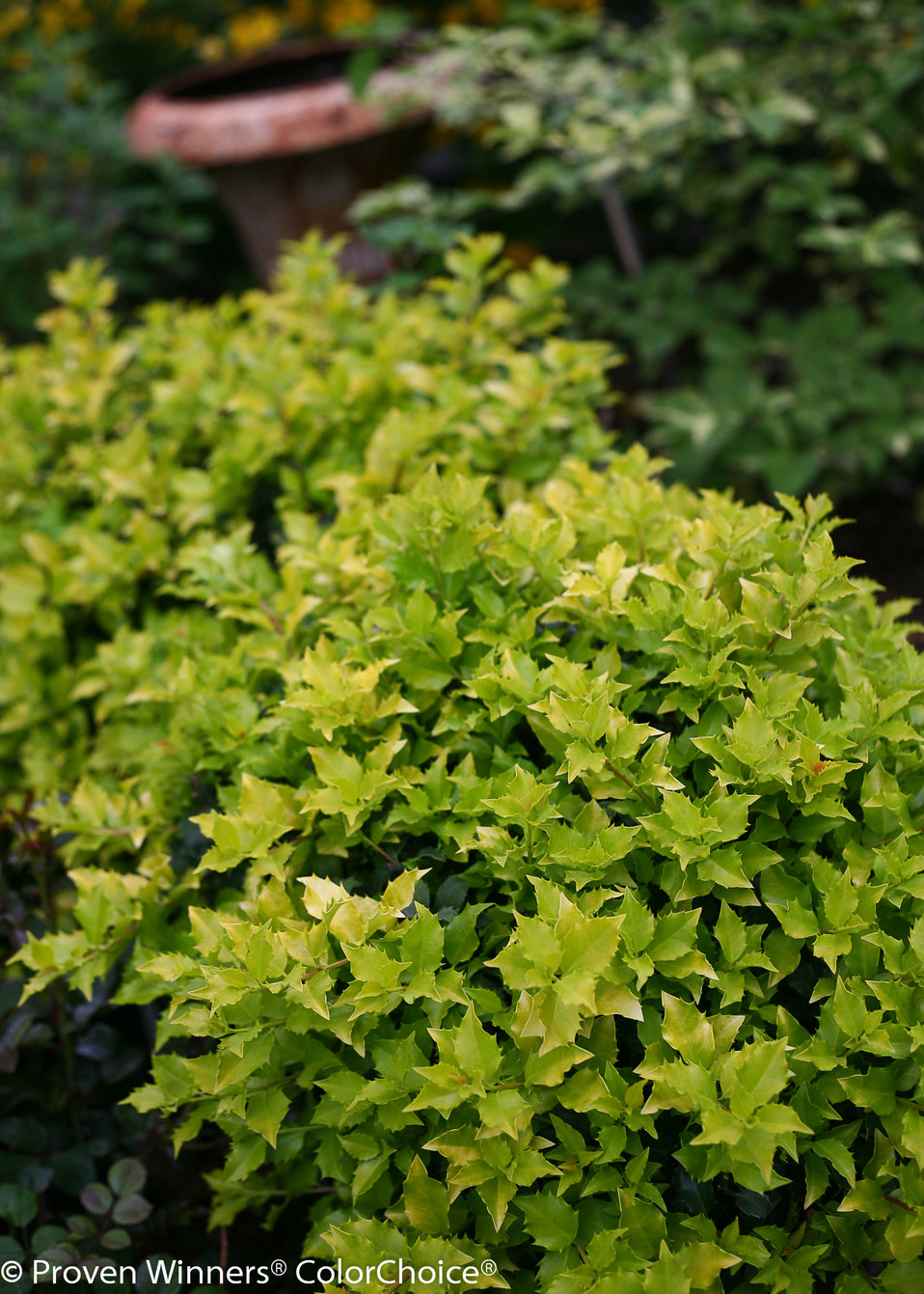 Pharos Gold Blue Holly Ilex X Meserveae Proven Winners