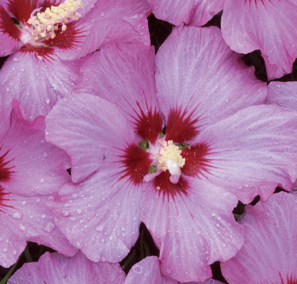 rose satin rose of sharon hibiscus syriacus proven. Black Bedroom Furniture Sets. Home Design Ideas
