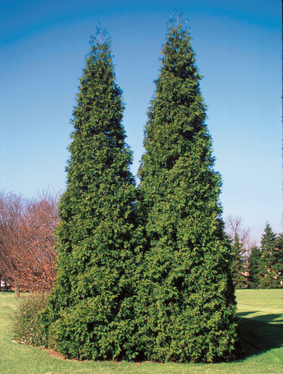 spring grove western arborvitae thuja plicata proven winners. Black Bedroom Furniture Sets. Home Design Ideas