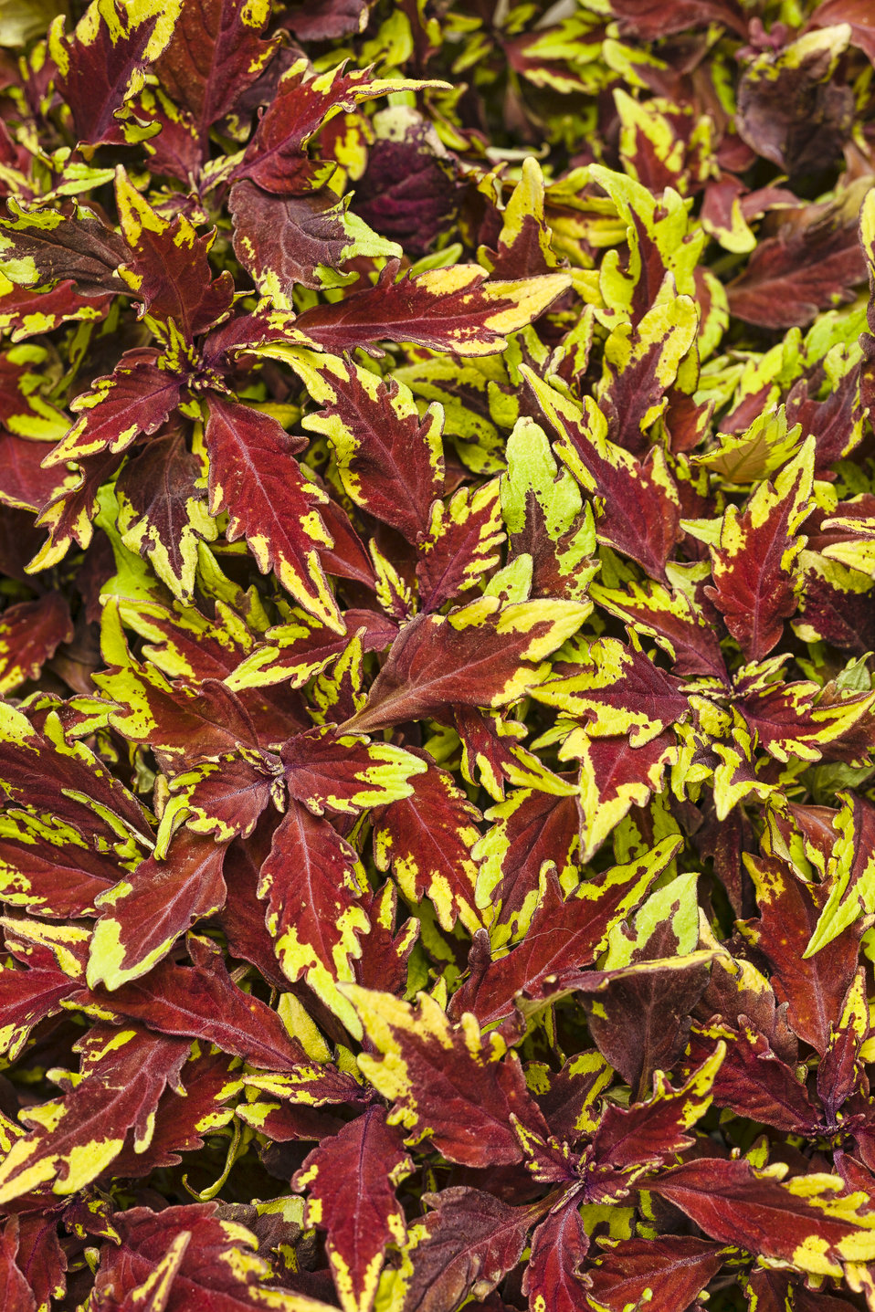 ColorBlaze® Royale Apple Brandy® - Coleus - Solenostemon ...