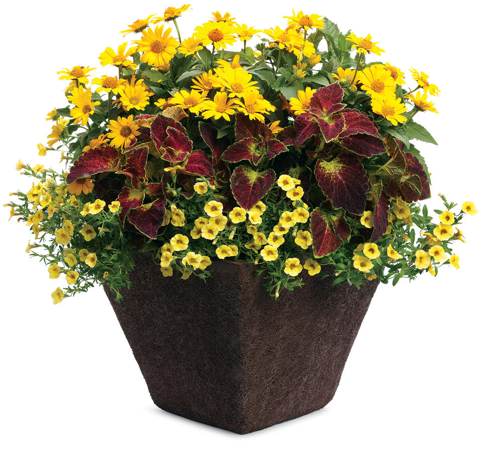 Images for 39 tuscan sun 39 perennial sunflower heliopsis for Flower pots with plants