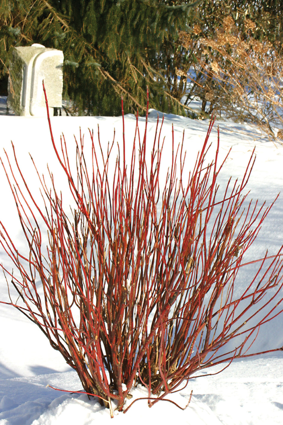 Arctic fire red osier dogwood cornus stolonifera for Red twig dogwood