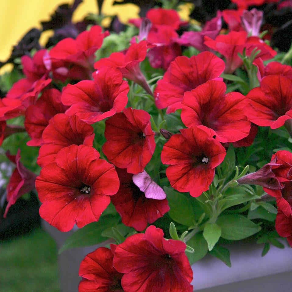 Crazytunia Red Blues Petunia Hybrid Proven Winners