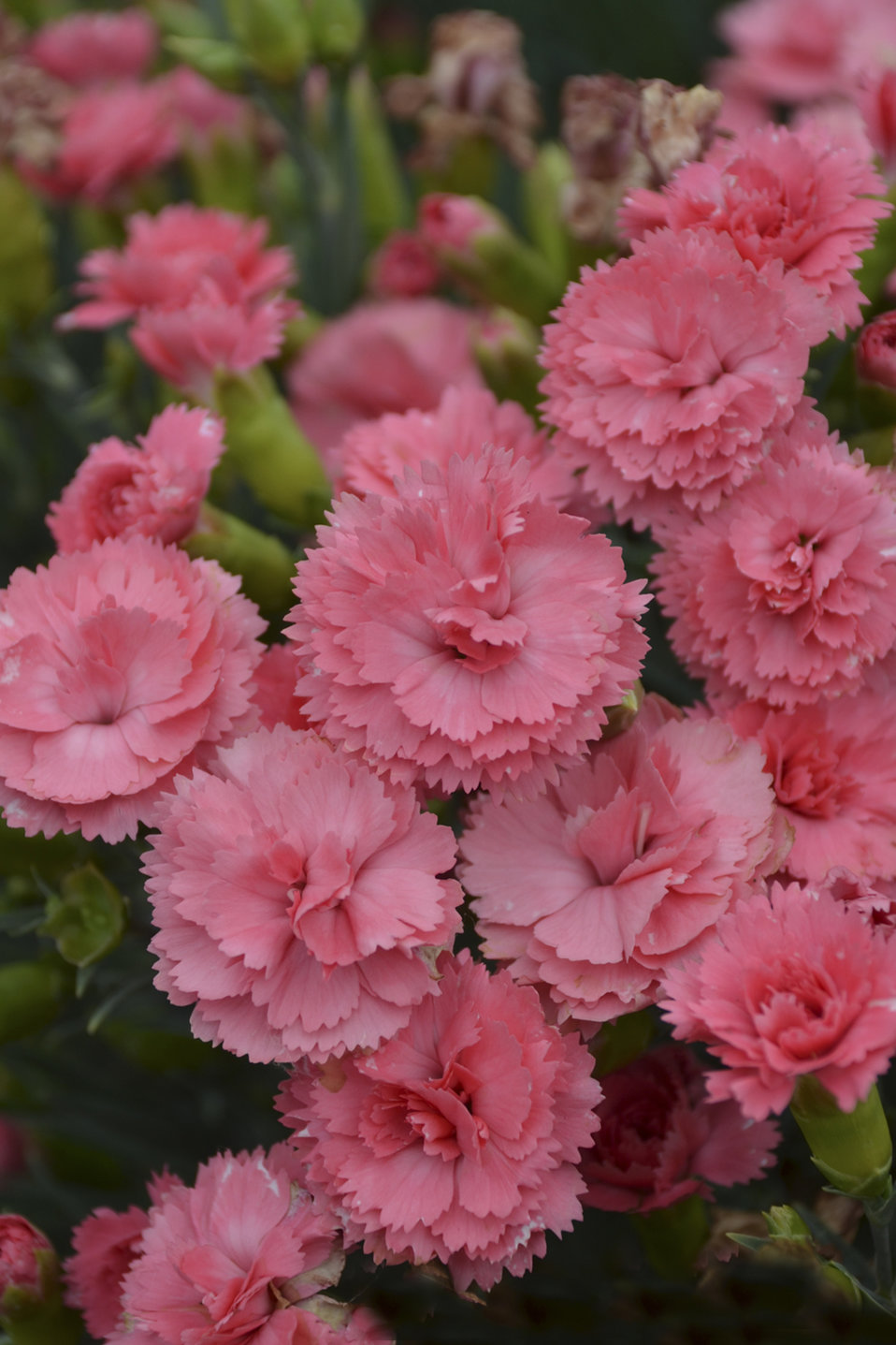 Fruit Punch Classic Coral Pinks Dianthus Hybrid Proven Winners