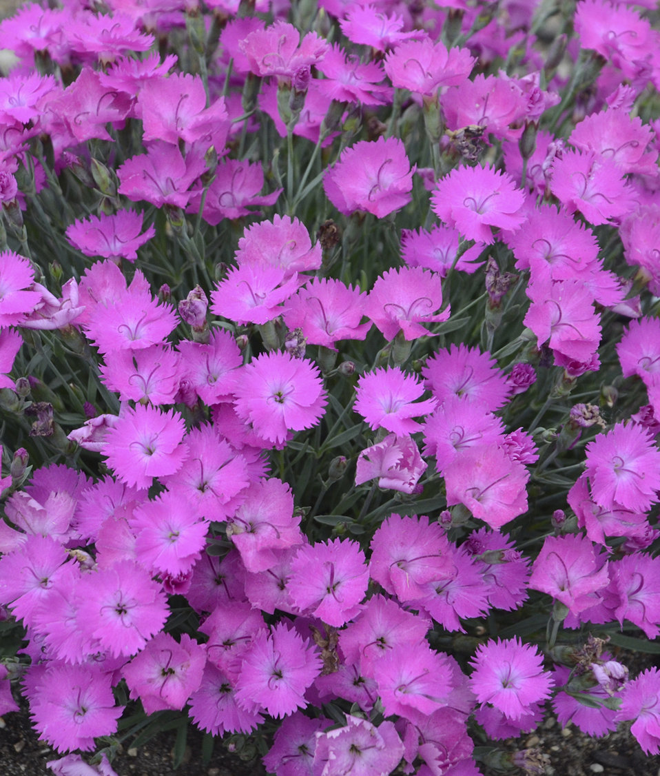Paint the town fuchsia pinks dianthus hybrid proven winners zoom mightylinksfo