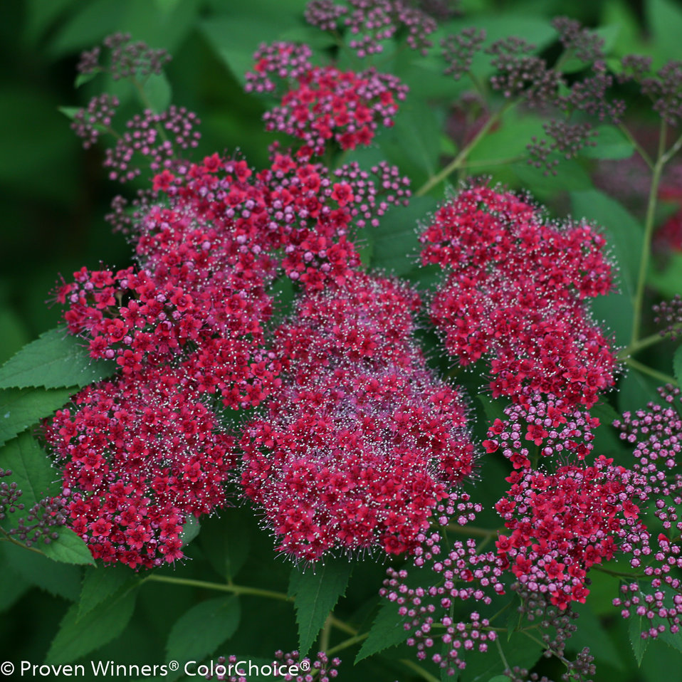Double Play Red Spirea Spiraea Japonica Proven Winners